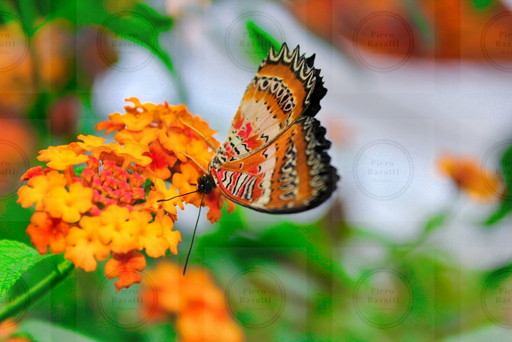 Orange Striped Butterfly